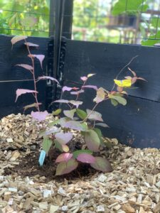 Träflis Plantering